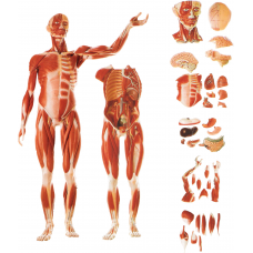 MALE MUSCLE FIGURE AND INTERNAL ORGANS (36 PIECES)